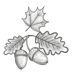 Sketch of an oak leaf and acorn vector