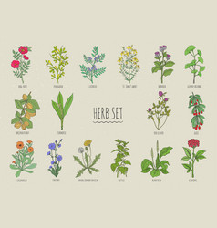 set of herbs collection hand drawn medical vector image vector image