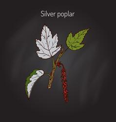 silver poplar tree vector image vector image