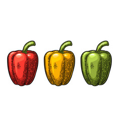 Sweet bell pepper vintage engraved vector