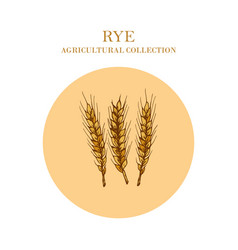 ears of rye crop agricultural collection vector image