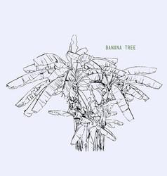 Banana tree leaf sketching vector