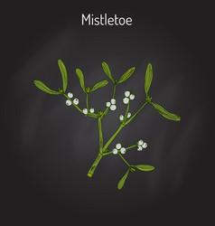 White mistletoe viscum album vector