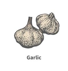 Hand-drawn matured head of garlic vector