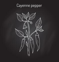 chilli pepper capsicum annuum vector image