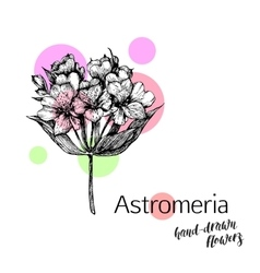 Astromeria flower for wedding or birthday card vector image vector image