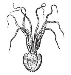 Pinnoctopus cordiiformis vintage vector