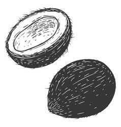 coconuts isolated on white background design vector image