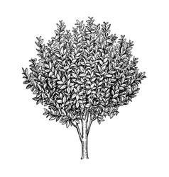 bay laurel tree vector image vector image