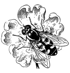 syrphidae vector image