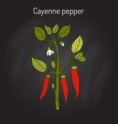 chilli pepper capsicum annuum vector image
