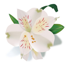 Realistic lily flower isolated vector