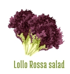 Lollo rossa salad vegetable icon vector