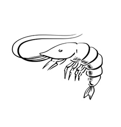 Fresh marine shrimp or prawn sketch vector image vector image