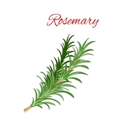 Rosemary culinary herb branches icon vector