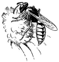 european beewolf vector image vector image