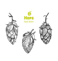 hops hand drawn vector image