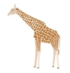 Giraffe on white background vector image vector image