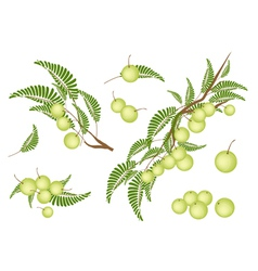 Set of Indian Gooseberry on White Background vector image