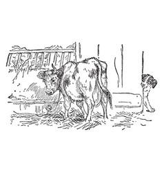 Cow eating hay in barn vintage vector