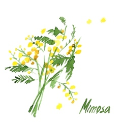 Hand-Drawn Mimosa Painted in Watercolor vector image