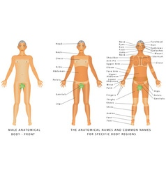 Male body front vector