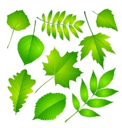 Green leaves set Eps 10 vector image