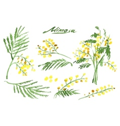 Set of hand-drawn mimosa painted in watercolor vector