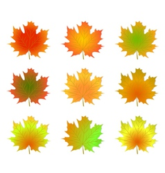 Maple autumn leaves vector