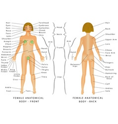 Regions of Female Body vector image