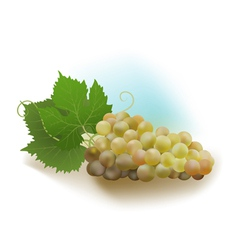 Grapes white vector