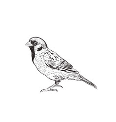 Sparrow sketch hand drawing sketch vector