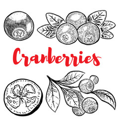 set of hand drawn cranberries isolated on white vector image vector image