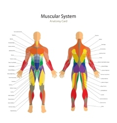 Human muscles exercise and muscle vector