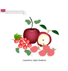 Lingonberry apple and raspberry the popular frui vector