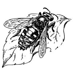 anthidium manicatum fly vector image vector image