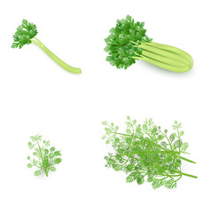 set of celery and dill in realistic style vector image
