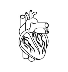 Sketch silhouette heart system human body vector