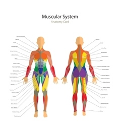 Human muscles the female body vector