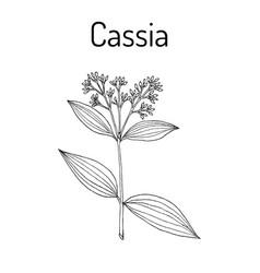 chinese cassia cinnamomum cassia medicinal plant vector image vector image