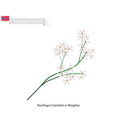 Saxifraga cotyledon the native flower of norway vector