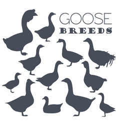 Poultry farming goose breeds icon set flat design vector