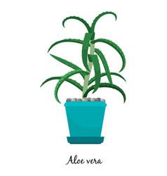 Aloe vera plant in pot icon vector