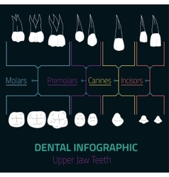 Teeth infographic vector
