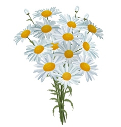 White realistic daisies isolated vector image