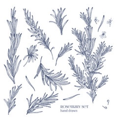 Collection of monochrome drawings of rosemary vector