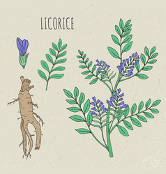 Licorice botanical isolated plant vector