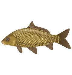 carp fish vector image