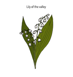 Lily of the valley convallaria majalis vector