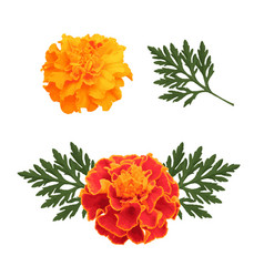 Marigolds isolated on white vector